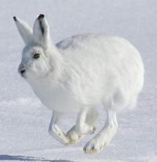 hopping-hare-snow